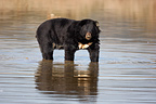 Asiatic Black Bear standing in water (Asiatic black bear )