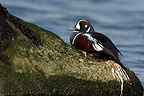 Harlequin Duck male on a rock New-Jersey USA (Harlequin duck)