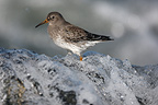 Purple sandpiper standing in wave crashing over a rock USA (Purple sandpiper)