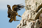 Griffon Vulture perching on a cliff, Extremadura, Spain