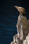 Griffon Vulture on a rock above the Tagus, Extremadura, Spain