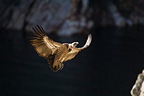 Griffon Vulture coming in to land on a cliff, Extremadura, Spain�