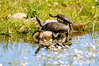 Caspian pond Turtles at the edge of a pond Extremadura Spain (Caspian pond turtle)