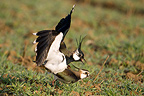 Mating of Northern Lapwings in a field Bavaria Germany (Northern Lapwing)
