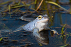 Moor frog breeding male parade in a pond Bavaria Germany