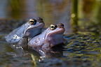 Moor frog breeding males parade in a pond�Bavaria Germany
