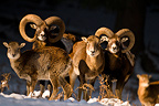 Mouflons in the snow forest Veldenstein Bavaria Germany (European mouflon)