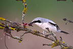 Northern Shrike eating a mouse on a branch Germany (Great Grey Shrike)
