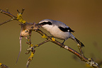 Northern Shrike eating a mouse on a branch�Germany (Great Grey Shrike)