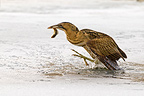 Bittern catching a perch in a frozen pond, Germany (Great Bittern)