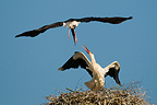 Black stork attacking a white stork at nest in Bavaria (Black Stork)