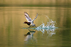 Pochard flying off the surface of a pond Bavaria Germany (Pochard)