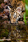 Young Siberian Tiger drinking from waterhole (Siberian tiger)