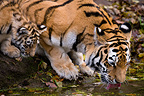 Siberian Tiger and young drinking at the waterhole (Siberian tiger)