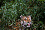 Portrait of Siberian Tiger standing in the Bamboo (Siberian tiger)