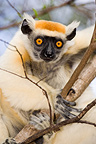 Golden-crowned Sifaka on a branch Daraina Madagascar (Golden-crowned Sifaka)