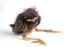 Sparrow nestling in the studio� (Sparrow)