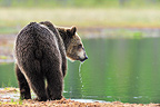 Young Bear drinking from a lake in Finland  (Brown bear)