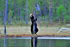 Brown Bear adult interested in a nest box Finland (Brown bear)