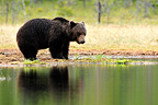 Male brown bear in the taiga near a lake Finland (Brown bear)