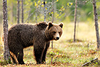 Young male brown bear in the taiga in Finland� (Brown bear)