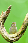 Greenfinsh immature on a branch in a tree in Finland� (Greenfinch)