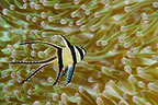 Banggai Cardinal Fish, Banggai islands, Indonesia (Banggai cardinal fish)