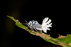 Larva of Homoptera Forest Corridor of Anjozorobe Madagascar