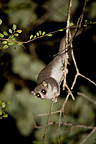 Cheirogale on a branch Kirindy Madagascar (Fat-tailed dwarf Lemur)