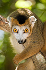 Portrait of male crowned lemur, Ankarana, Madagascar.