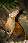 Malagasy Ring-tailed Mongoose Ankarana Madagascar (Ring-tailed Mongoose)
