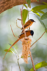 Madagascar paradise-flycatcher couple at nest Madagascar (Madagascar paradise-flycatcher)