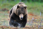 Carpathian Brown Bear male in Finland (Carpathian brown bear)