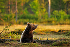 Carpathian Brown Bear in the evening light in Finland (Carpathian brown bear)
