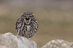 Little Owl calling with open beak, Spain