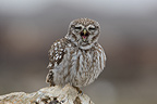 Little Owl calling his partner Spain (Little owl)