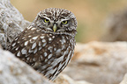 Little Owl on a rock in observation in Spain (Little owl)
