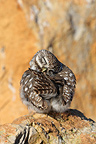 Little Owl grooming on a rock Spain (Little owl)