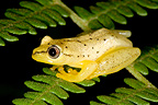 Spotted Madagascar Reed Frog on fern Andasibe Madagascar