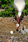 Hatching of White Stork chicks France (White Stork)