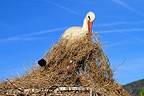 White Stork collecting grass to bring it to the nest France (White Stork)