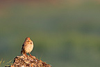 Corn Bunting in Catalonia at spring Spain (Corn Bunting)