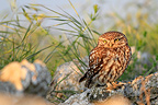 Little Owl on a rock in Spain (Little owl)