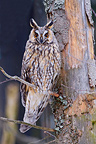Long-eared owl on a pine BayerischerWald Germany (Long-eared Owl )