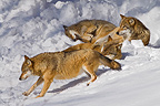 European Wolves in the snow BayerischerWald Germany (Eurasian wolf)