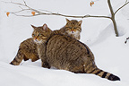 Couple of Wild Cat in the snow BayerischerWald Germany (Wildcat)