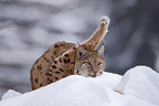 Eurasian Lynx lying in the snow Falkenstein Germany (Eurasian lynx )