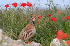 Red-legged Partridge and Papaver Catalonia Spain (Red-legged Partridge)