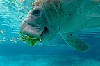 West Indian Manatee eating leaves in Crystal River USA (West Indian Manatee)