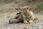 South American Grey Fox lying open mouth in Argentina (South American Grey Fox)
